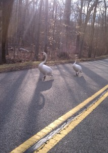 swans walk on street